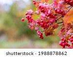 Viburnum Branch With Red...