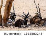A Group Of Blackbucks  Antilope ...