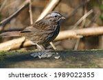 Little Sparrow Bird Eating...