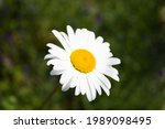 Oxeye Daisy Flower Head Close...