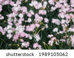 White And Pink Wild Carnation...