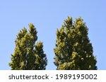 Lombardy Poplar Trees Against...