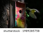 Tomtit Leaving Bird House To...