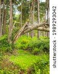 Fallen Broken Tree In British...