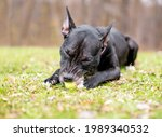 A Black Pit Bull Terrier Mixed...