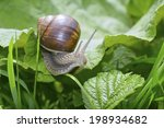 Snail  Helix Pomatia  In Grass