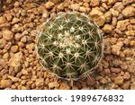 Top View Green Cactus Plant Or...
