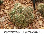 Green Cactus Plant Or Call...