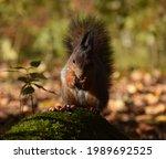 Squirrel Eats Nut In Autumn...