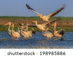 a group of pelicans in the... | Shutterstock . vector #198985886