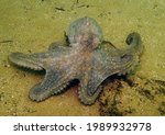 Playful Southern Octopus ...