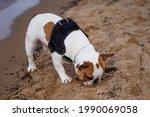 French bulldog dog walking on...