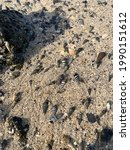 Thousands Of Sea Snails...