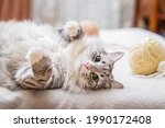 Fluffy Cute Gray Cat Plays Fun...