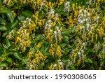 Yellow And White Honeysuckle...