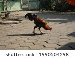 Rooster Pecking Food In Front...