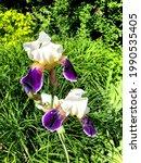Irises Close Up In The...