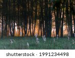 A Dark Dark Forest At Dawn  A...