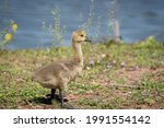 A Canada Goose Gosling On The...