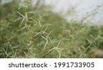 Babul Tree  Acacia Thorn  The...