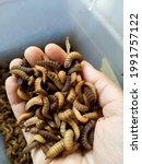 Black soldier fly larvae ...