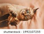 A Tabby Cheerful Thai Kitten...