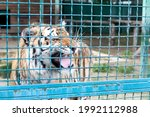 Small photo of Wild animals, big cats. A boisterous tiger in a cage. Circus.