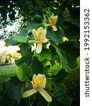 Small photo of Branch of American tulip tree (Liriodendron tulipifera, tulipwood, tulip poplar, whitewood, fiddletree, or yellow-poplar) with several bright yellow and orange flowers and green leaves