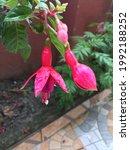 Hanging Fuchsia Flower Pink...