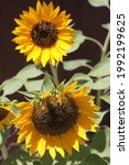 Sunflower Plants With Bright...