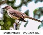 Northern Mockingbird On The...