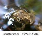 Green Frog In Nature Habitat....