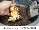 Small photo of ้close up how to plant and graft fig tree in to the pot, lots of white grafting root fig cover branch