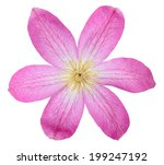 Beautiful Pink Clematis...