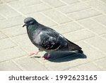 A Dove Walks On Paving Slabs On ...