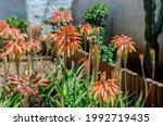 Beautiful  Succulent Plant ...