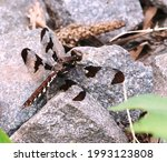 Lovely Female Common Whitetail...