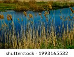 spring swamp with reeds....   Shutterstock . vector #1993165532