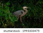 Great Blue Heron Walking...