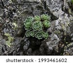 Succulents And Lichens On The...