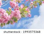 Pink Sakura Flowers On A Branch ...