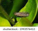 Marsh Fly Dictya Genus ...