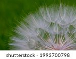Large White Dandelion Puff...