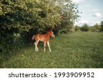 Small photo of Reddish colt with white spot on the forehead pastures near the trees in a glade with tiny yellolw flowersReddish colt in a glade
