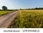 Wild Poppy Field In Cereal And...