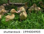 Yellow Little Ducklings In The...