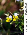 The Horned Violet Is A...