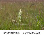 Platanthera Bifolia White Wild...