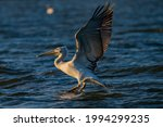White Pelican From The Danube...