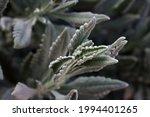 Light Green Lavender Leaves On...